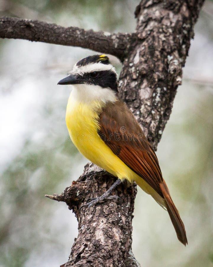 Kiskadee en un miembro de árbol en Tejas imagen de archivo libre de regalías