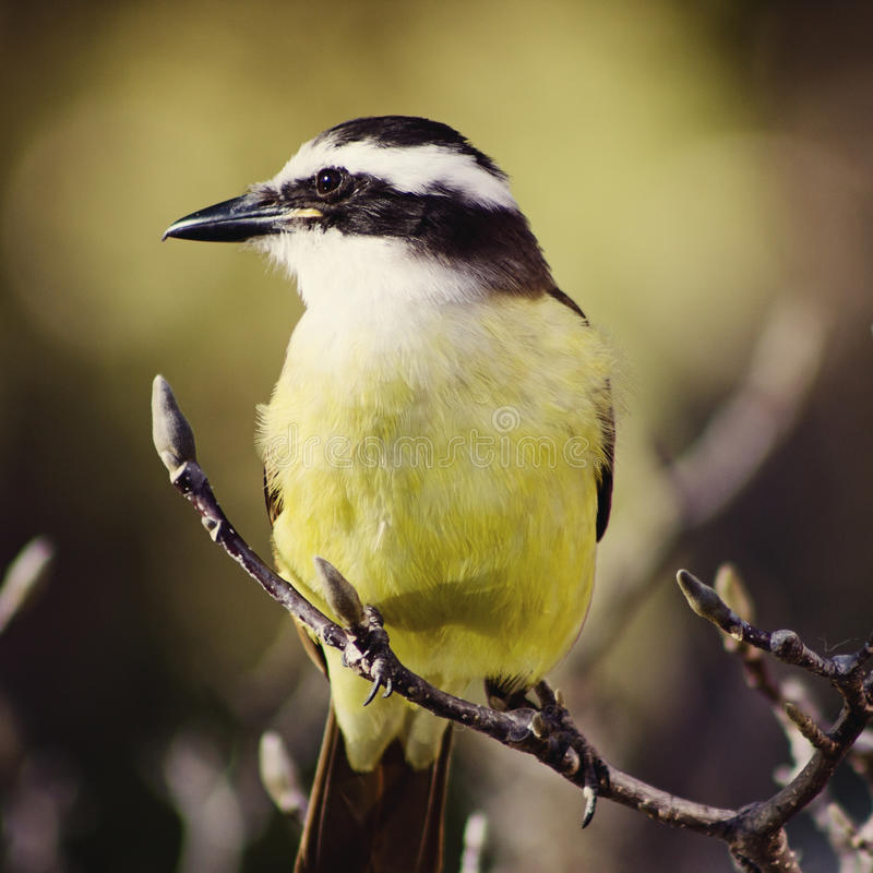 Kiskadee sur le branchement photo stock