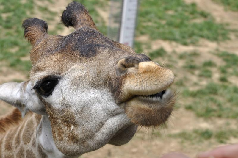 Kiss of a Giraffe stock photo