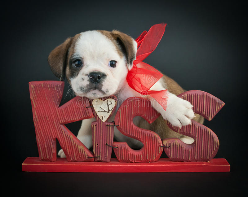 Kiss Me Puppy royalty free stock image