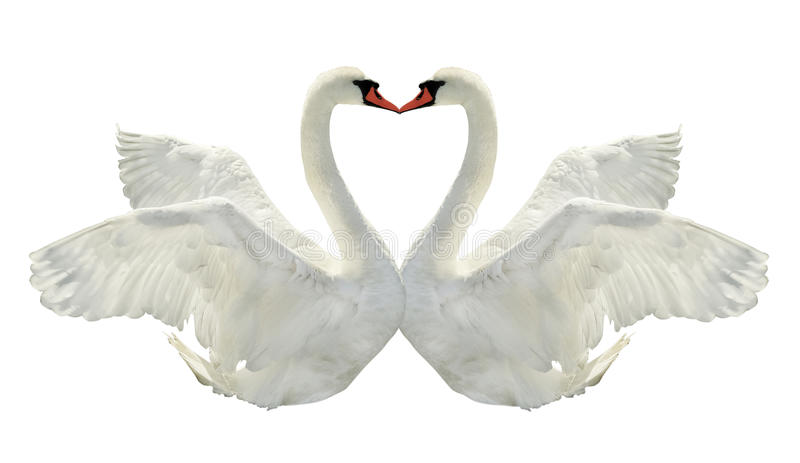 Kiss of two swans. royalty free stock photography