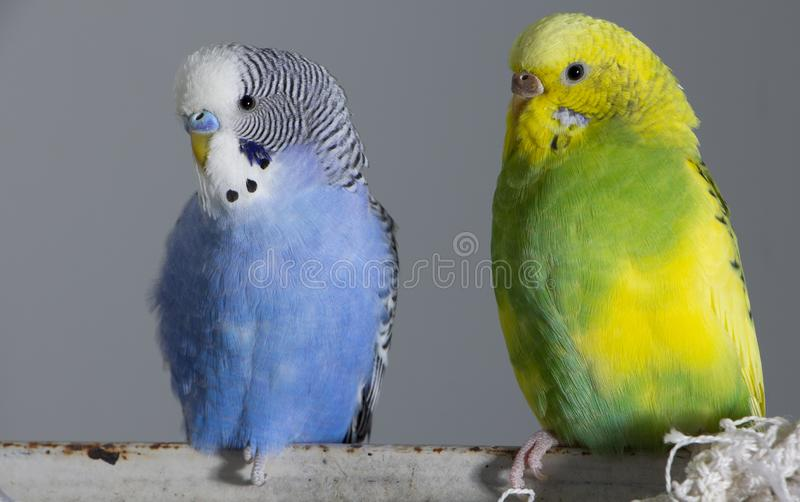 Kiss wavy parrots. Little birds touched each other's beaks. Close up royalty free stock image