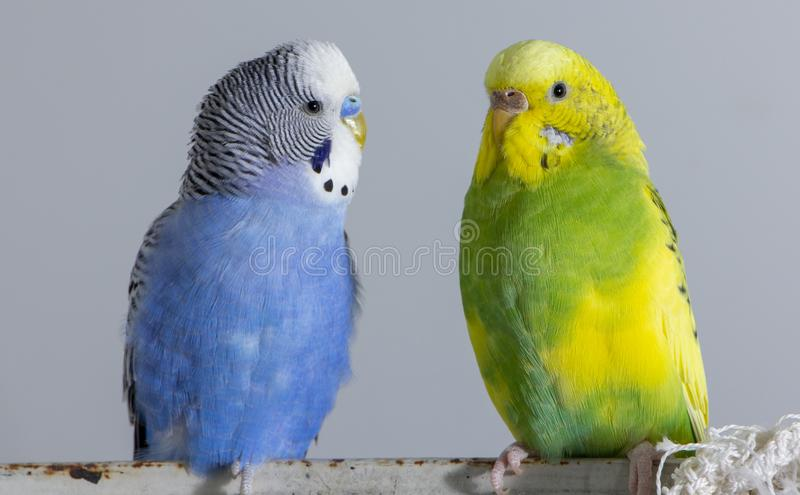 Kiss wavy parrots. Little birds touched each other's beaks. Close up royalty free stock images