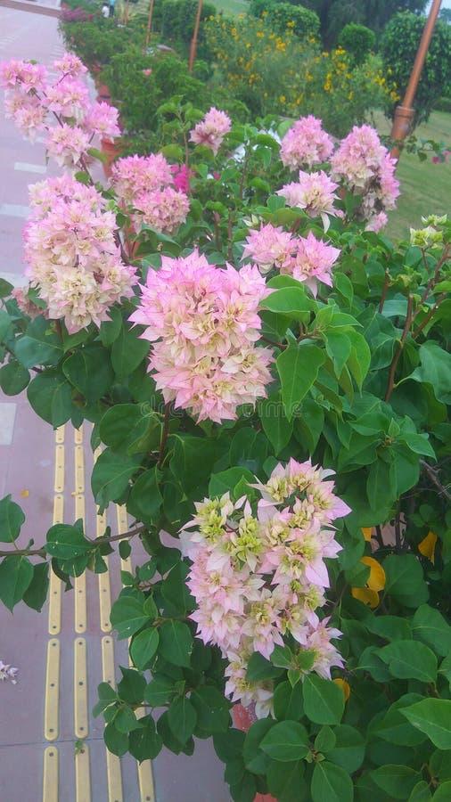 Kissa gee hydrangaljus - rosa blommor royaltyfri foto