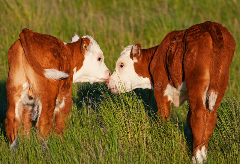 Kissing Calves royalty free stock images