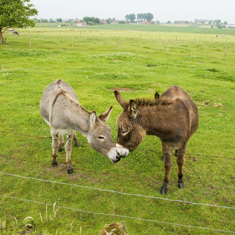 Kissing donkeys
