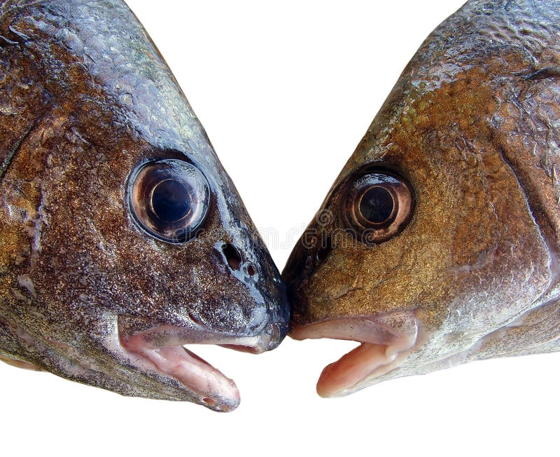 Kissing fishes