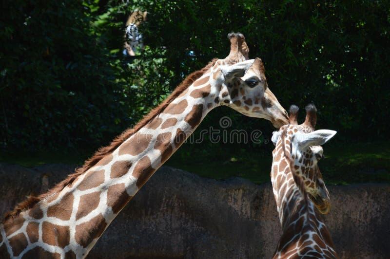 Kissing Giraffes royalty free stock images