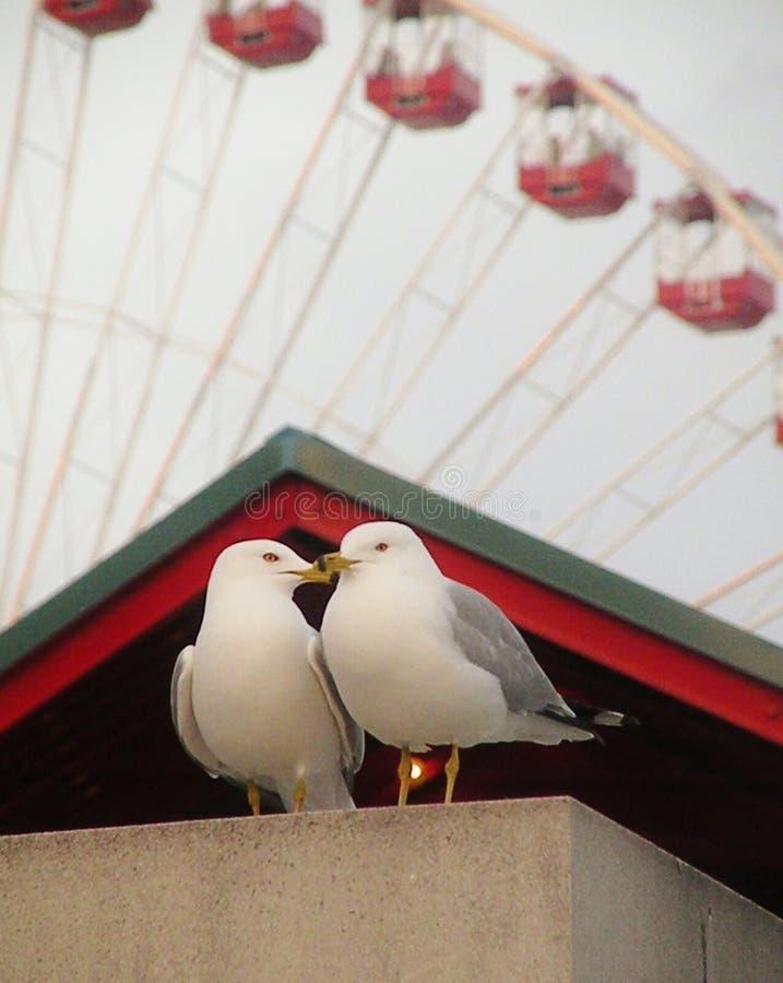 Free Kissing Gulls Stock Photography - 55586882