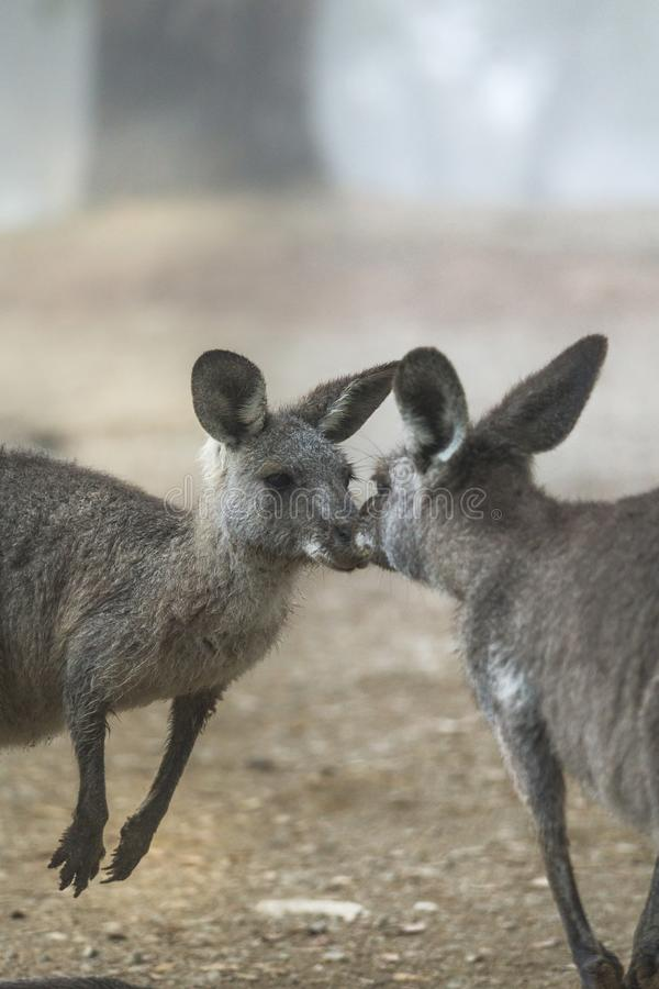 Kissing kangaroos in foggy landscape. Kissing kangaroos in Australian bush land with fog.  There is some grain in this image royalty free stock photos