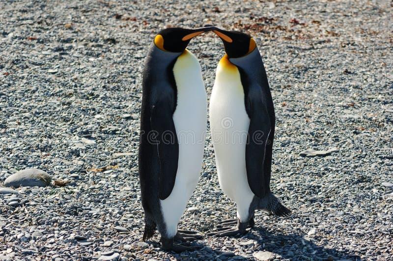 Kissing King Penguins stock photos