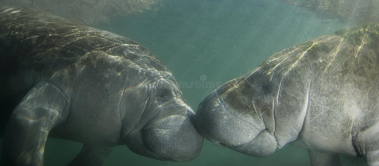 Kissing Manatees. Two endangered Florida Manatee (Trichechus manatus latirostrus) nose to nose as the sun shines down on them in the springs of Crystal River