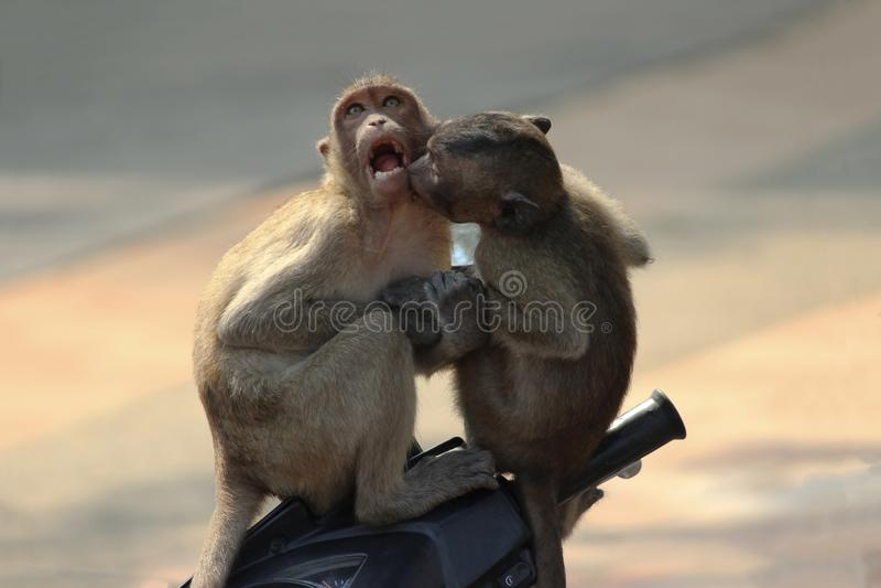 Kissing monkeys love royalty free stock photography