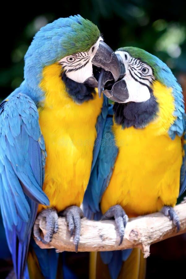Free Kissing Parrots Royalty Free Stock Photo - 10270255