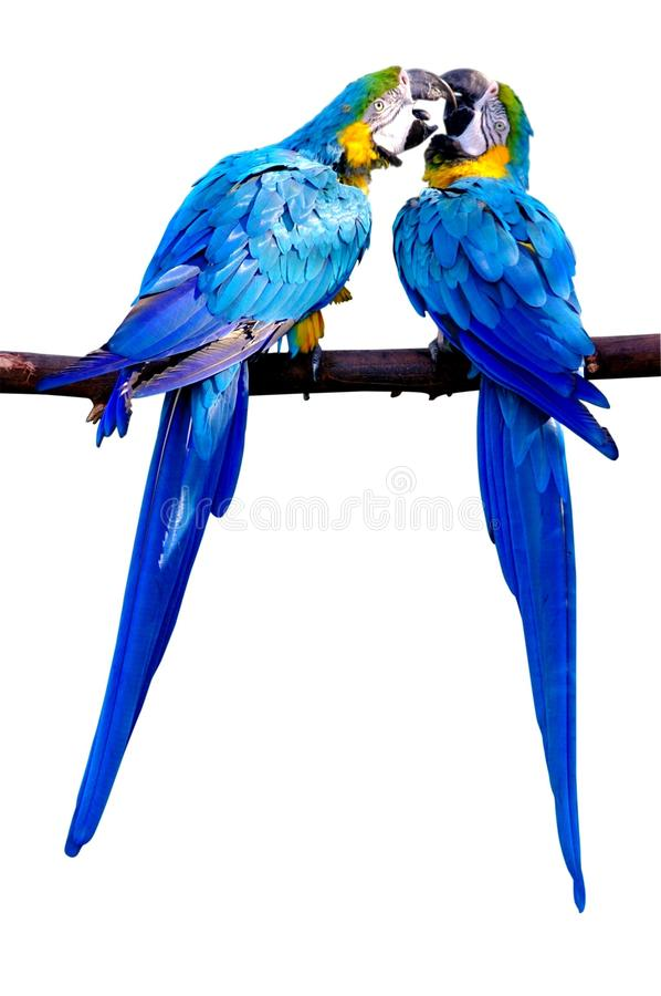 Free Kissing Parrots Royalty Free Stock Photo - 31092065