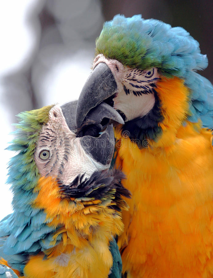 Kissing Parrots. Blue And Gold Macaws Kissing stock photo