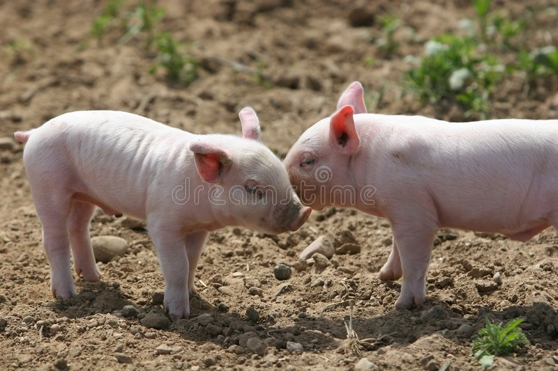 Kissing pigs royalty free stock image