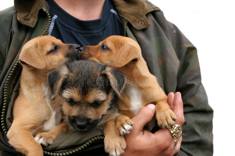 Kissing Puppies. Three german shepherd and labrador crossed puppies, two of them kissing, in the arms of a man with large gold and diamond rings on his fingers royalty free stock photos