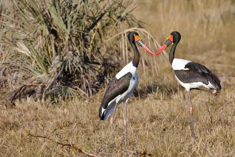 Kissing Saddle-billed Stork Pair royalty free stock images