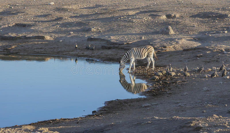 Kissing Zebras at a waterhole stock photos