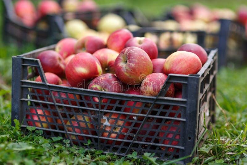 Kisten frisch ausgewählte Äpfel lizenzfreie stockfotografie