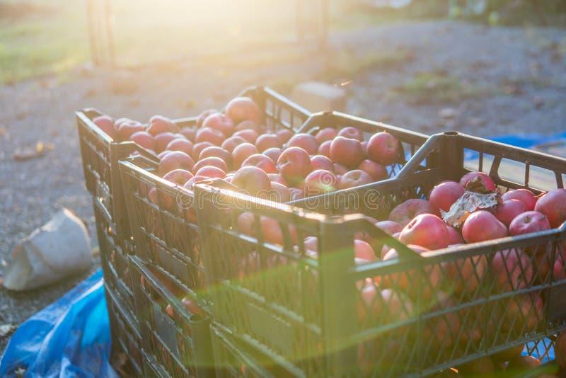 Kisten frisch ausgewählte rote Äpfel ernten im Apfelgarten stockfotos
