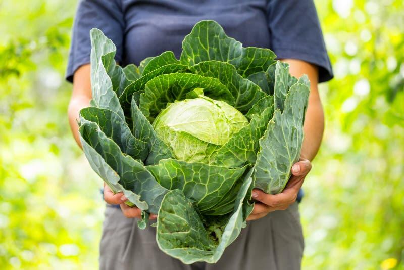 Kiszona kapusta w rękach kobieta rolnik zdjęcie stock