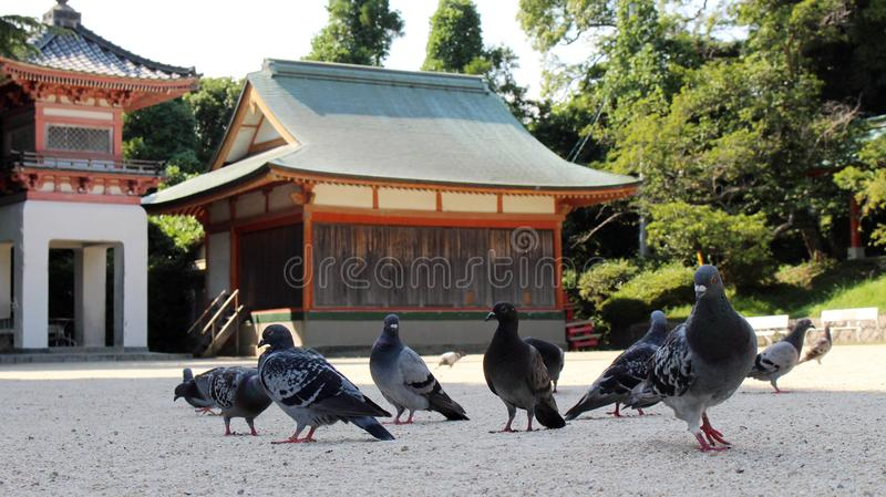 A kit of pigeons or doves? hanging around Japanese Shrine. Pic was taken in August 2017 royalty free stock photos