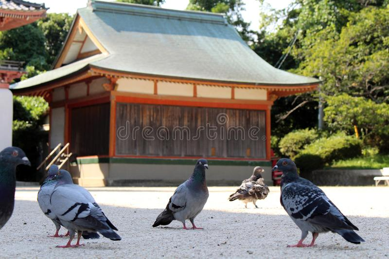 A kit of pigeons or doves? hanging around Japanese Shrine. Pic was taken in August 2017 stock photos
