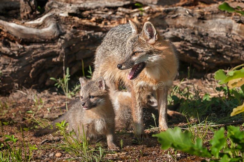 Kit Stands avec Grey Fox Vixen (cinereoargenteus d'Urocyon) photo libre de droits