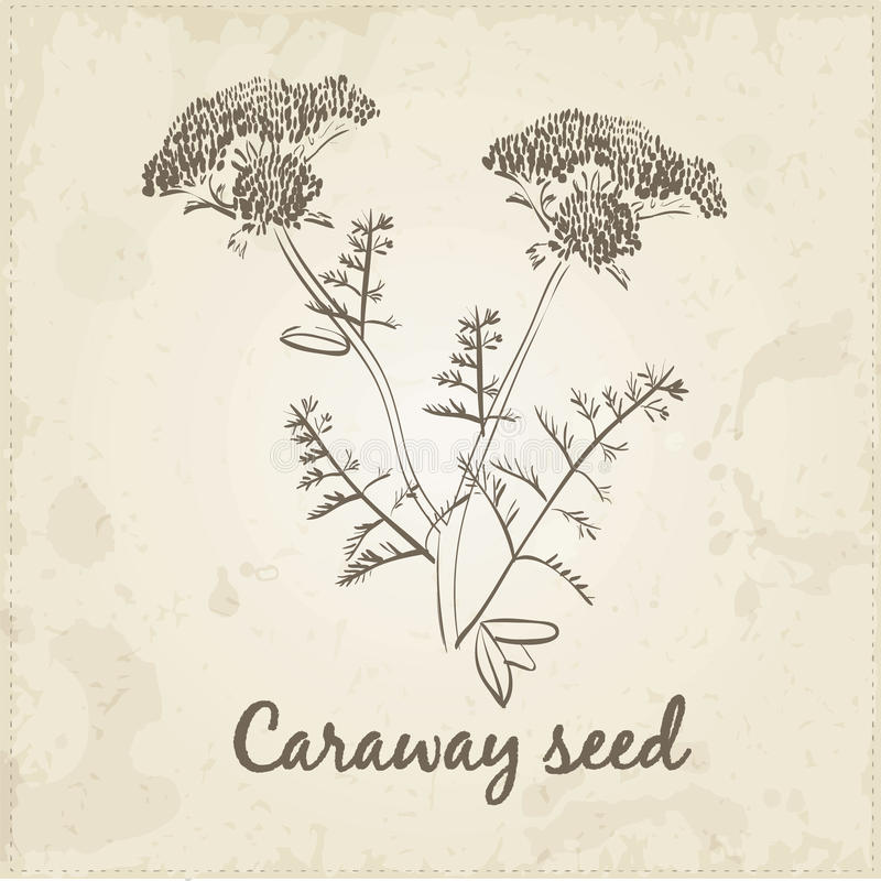 Kitchen hand-drawn herbs and spices, Caraway seed royalty free illustration