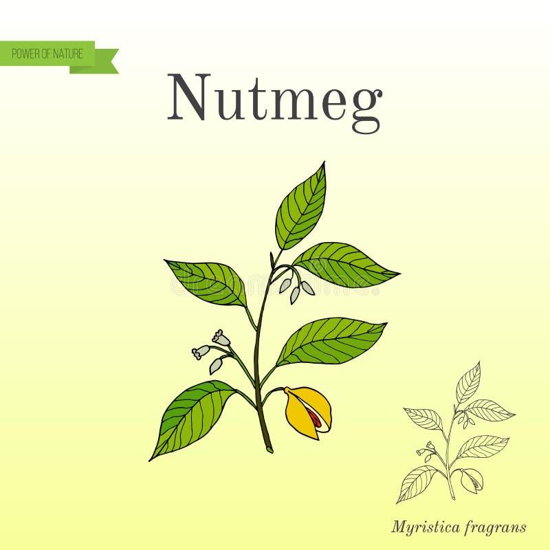 Kitchen spices. Nutmeg royalty free illustration