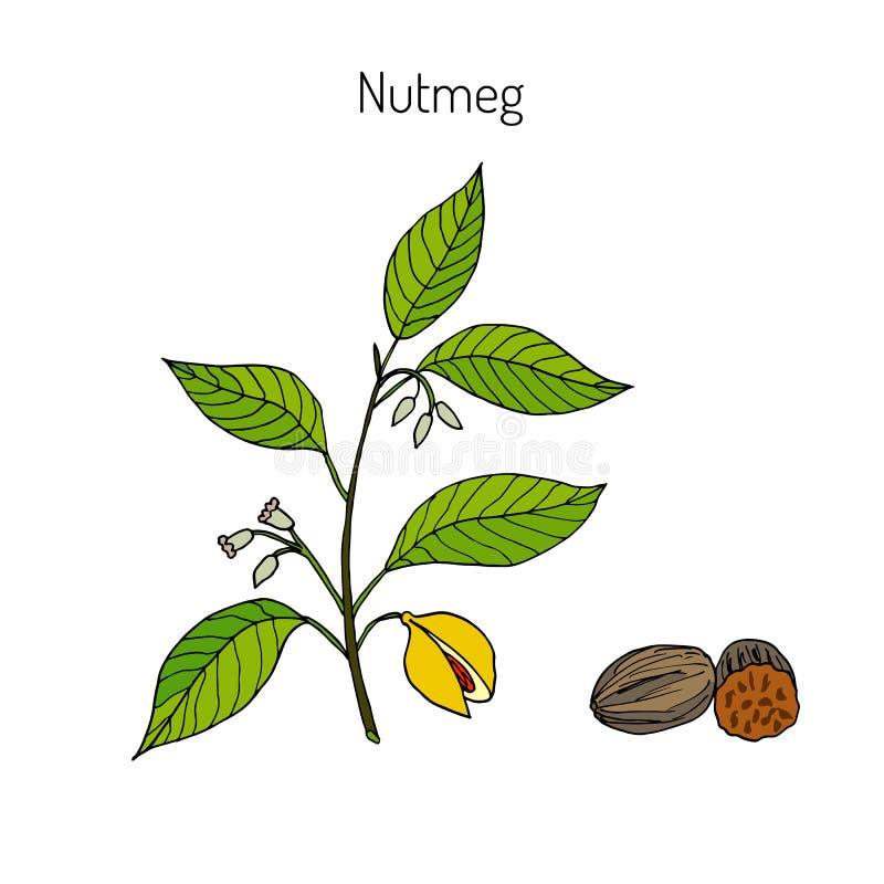 Kitchen spices. Nutmeg. Hand drawn illustration stock illustration