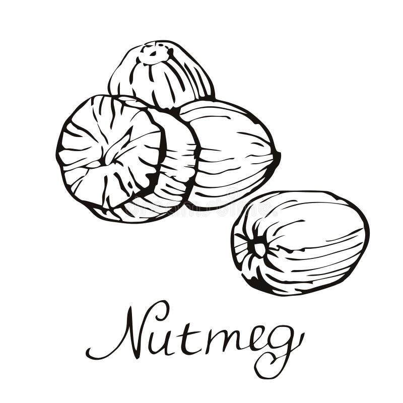 Kitchen spices. Nutmeg. Hand drawn vector illustration. stock illustration