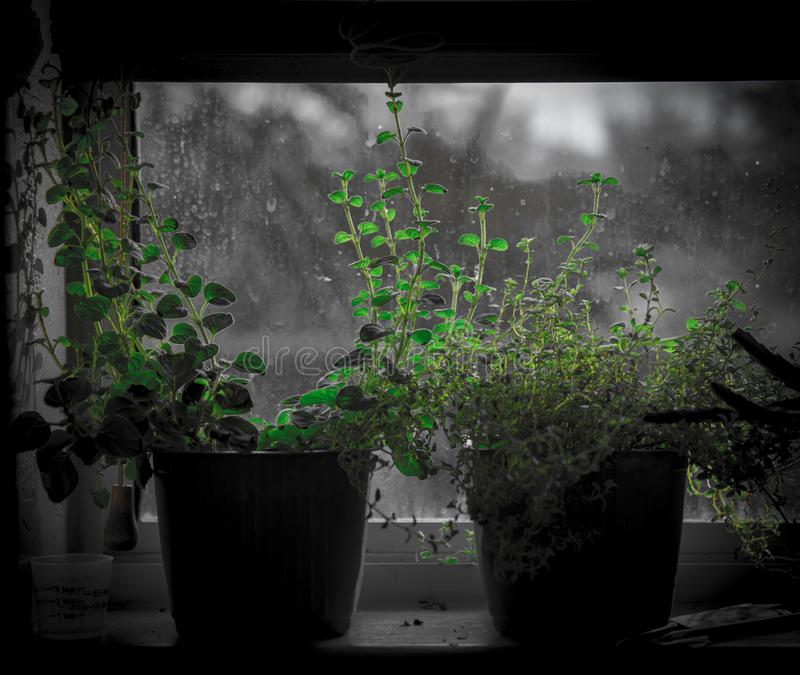 Kitchen window herbs- Growing thyme on the window sill royalty free stock photos