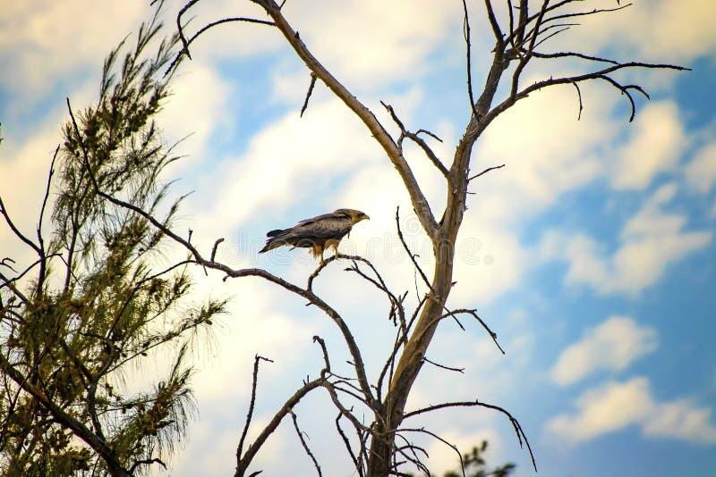 Kite negra, Milvus está na árvore no Senegal, África Fechar foto da águia grande É a foto da vida selvagem Há azul fotos de stock royalty free