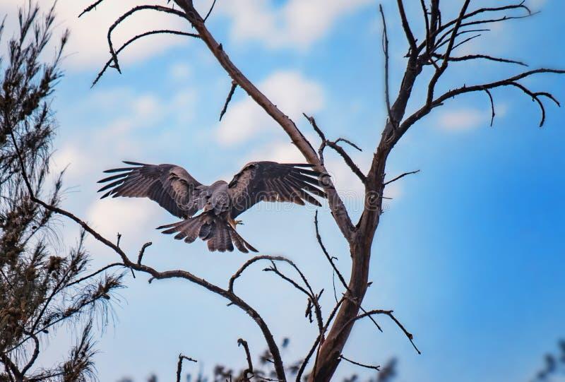 Kite nera, Milvus vola e atterra sull'albero in Senegal, Africa Foto dell'aquila grande E' una foto di natura naturale. Lì fotografia stock libera da diritti