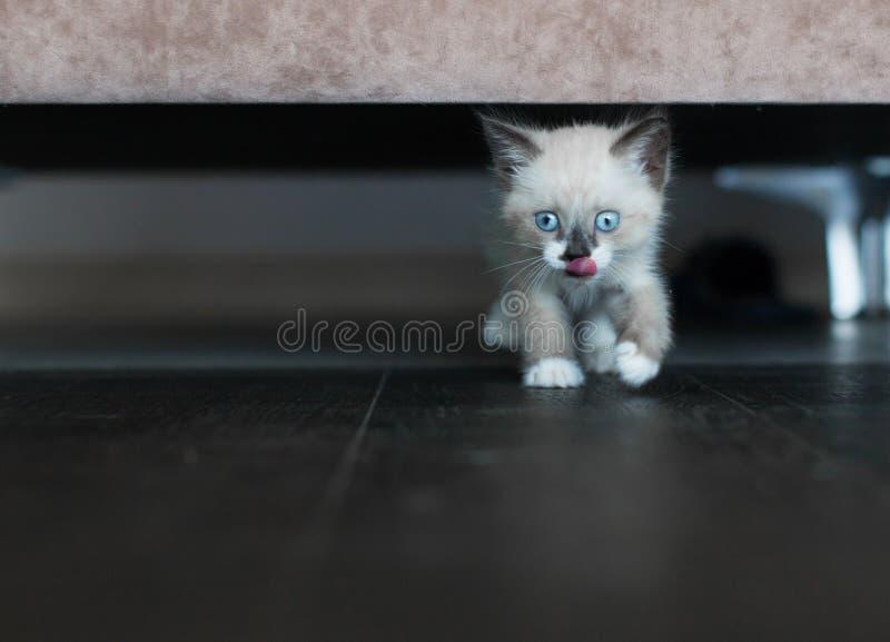 Kitten è sotto il divano immagini stock libere da diritti