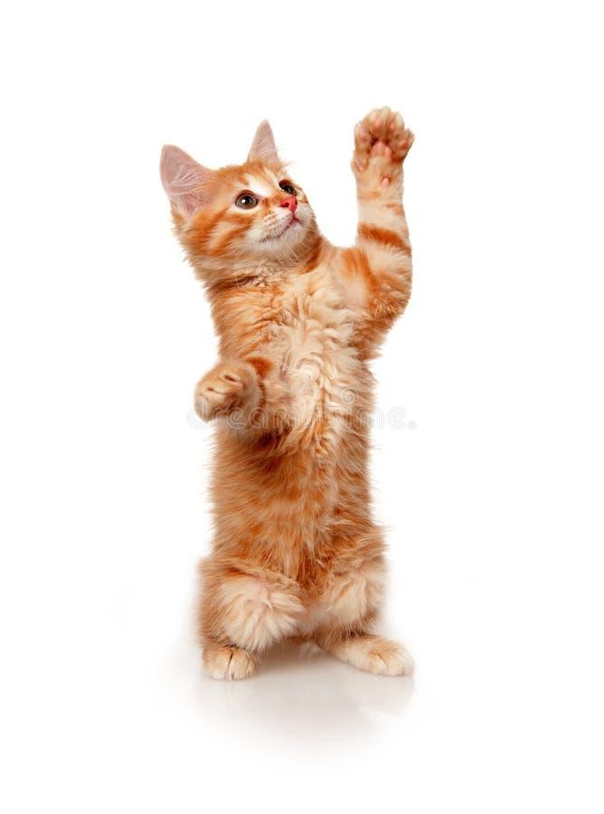 Free Kitten Royalty Free Stock Images - 10501559