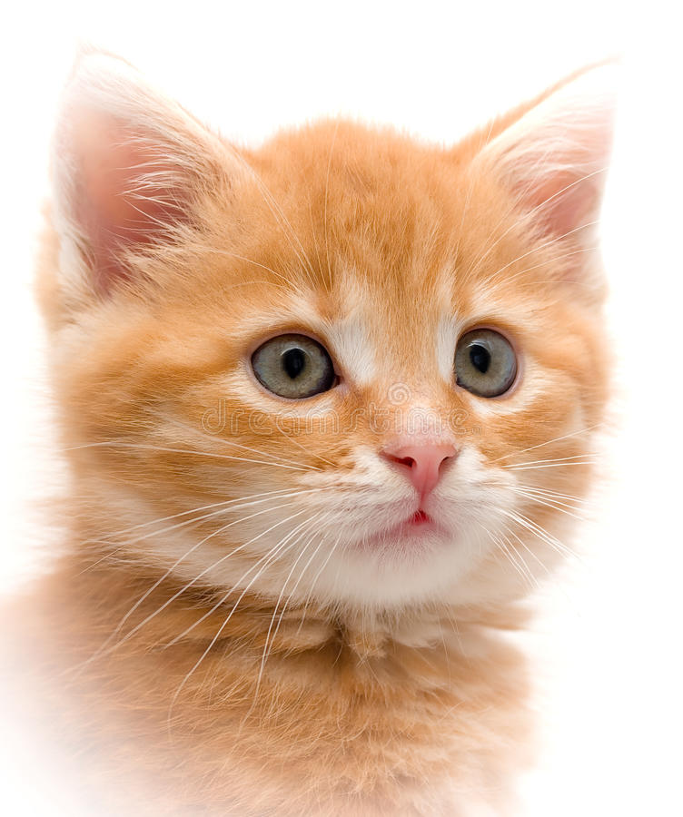 Kitten. Small red kitten on a white background royalty free stock photos