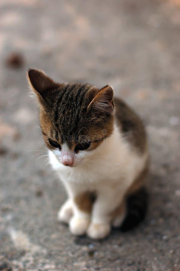 Download Kitten Royalty Free Stock Images - Image: 1717779