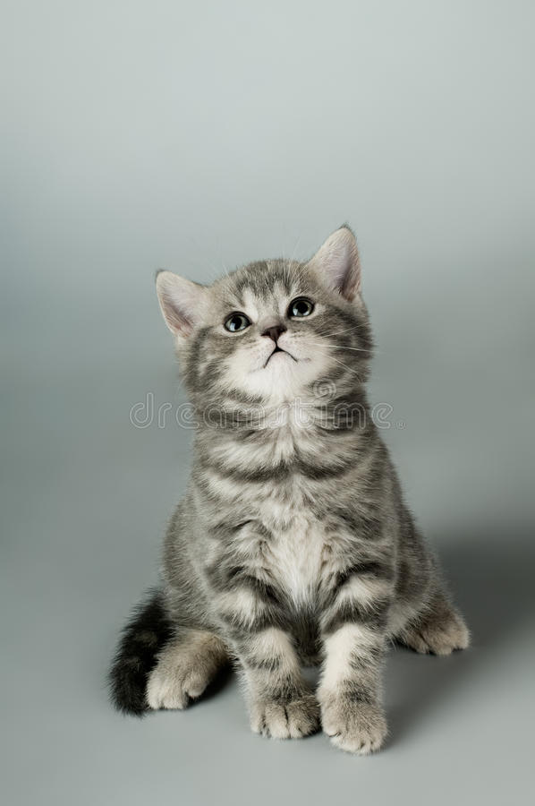 Kitten. Fluffy gray beautiful kitten, breed scottish-stright, close portrait on grey background , focus on face , lamentably look stock images
