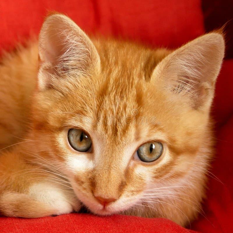 Free Kitten Royalty Free Stock Image - 19890926