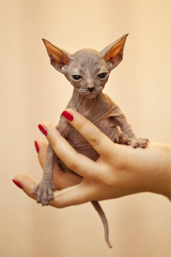 Download Kitten stock photo. Image of bald, shelter, kitten, disease - 21651468