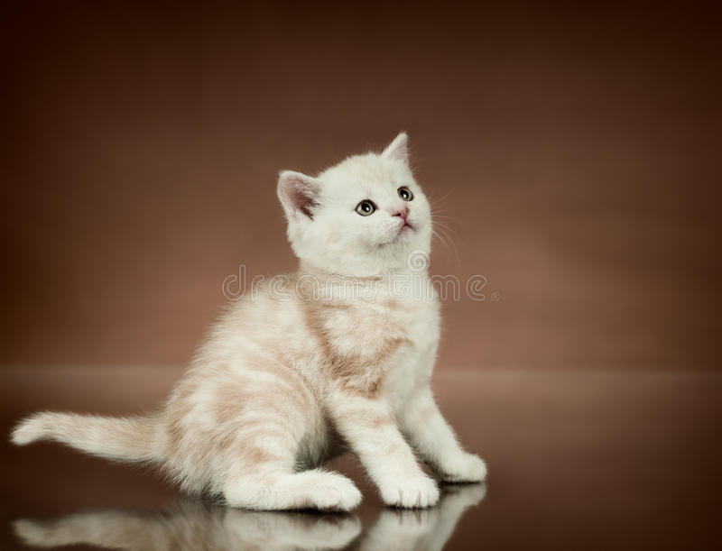 Download Kitten stock photo. Image of kitten, blooded, fold, photo - 23383034
