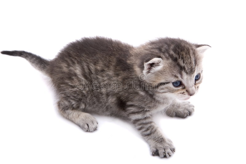 Download Kitten stock photo. Image of crouching, tabby, tiny, adorable - 2418138
