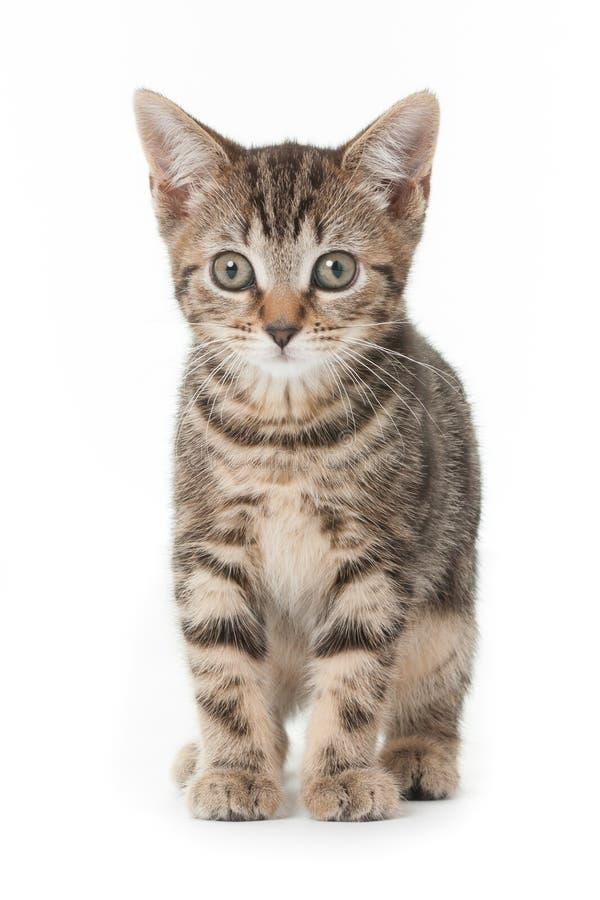 Kitten. Ten week old tabby kitten royalty free stock photography