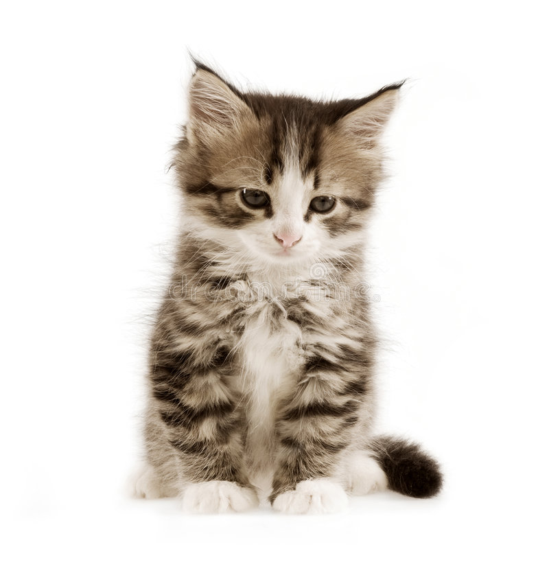 Free Kitten Royalty Free Stock Photo - 3335395