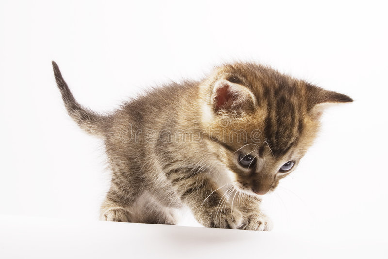 Kitten. Cute Kitten on white background royalty free stock photography