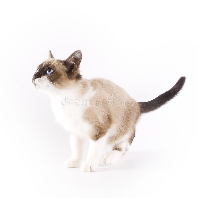 Kitten. On a white background royalty free stock image